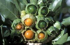 20101012184035-orobal-fruto-detalle.jpg